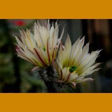 Echinocereus (Wilcoxia) waldaisii, VM 717, Presa de Guadalupe,SLP (10 SEEDS)