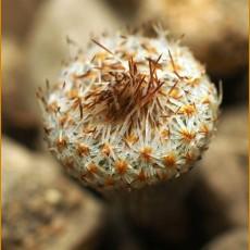 *Epithelantha pachyrhiza ssp. parvula VM 665, W of Hipolito, Coah (PLANT 1,5-3 cm)