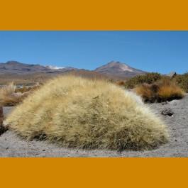 Cumulopuntia sp. MKR 801 El Tatio, Chile