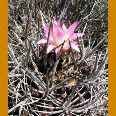 Neoporteria nigrihorrida MKR 810, NP Fray Jorge, Chile (10 SEEDS)