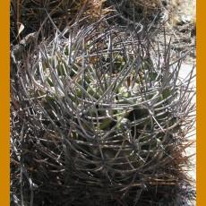 Pyrrhocactus sp. MKR 833 Las Palmas, Cabildo - Palquico, Chile (10 SEEDS)