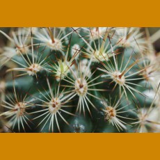 Ancistrocactus megarhizus VZD 132 Fortin Agrario, Tamp. (10 SEEDS)