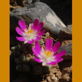 Aztekium valdezii GCG 10893, Loma Alta, NL (10 SEEDS)