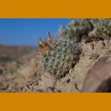 Sclerocactus wrightiae GCG 10438 Twin Peaks, Emery Co.,Ut. (10 SEEDS)