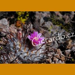 Mammillaria perezbomba f. Plein GCG 10871, N part of Aguascalientes
