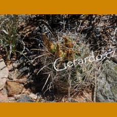 Sclerocactus parviflorus GCG Little Egypt, Garfield Co.,Ut. (10 SEEDS)