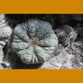 Aztekium ritterii f.rotundum GCG 10887, El Barreal II., N of Rayones, NL (10 SEEDS)