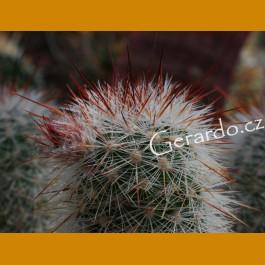 Echinocereus lauii SB 780, Rancho el Trigo, Chih.  -8C