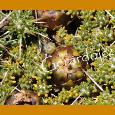 Maihuenia patagonica JV 24 Ranguil del Norte, Arg. (100 SEEDS)