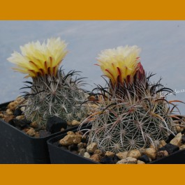 Coryphantha pseudokracikii GCG 10007 Las Pampas, Chih.