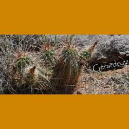 Echinocereus engelmannii GCG 10463 Henry Mts.,Garfield Co.,Ut.
