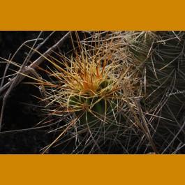 Echinocereus coccineus rosei BW 125, W of Carrizozo, Lincoln Co, NM  -12C