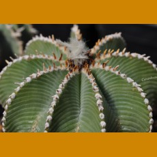 *Aztekium hintonii GCG 9763, 2 km before Rio de San Jose,NL  (PLANT 1cm)