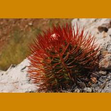 Melocactus acunae GCG 9902, Km 90, W of Tacre, Kuba (10 SEEDS)