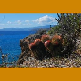 Melocactus harlowii GCG 9905 6,2km W of Imias, Yacabo Abajo, Kuba
