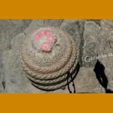 *Epithelantha cryptica f.black spines VM 132, Casa Colorada, Sierra de la Paila, Coah (PLANT 1-1,5 cm)