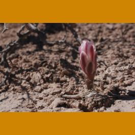 *Ancistrocactus pinkavanus GCG 10914 San Juan de Boquillas,Coah. GRAFTED  (PLANT 1,5-3cm)