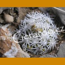 *Escobaria (Cochisea) robbinsorum GCG 10800 Guadalupe Canon, E of Douglas, Cochise Co.,Az.  (PLANT 1-2cm)