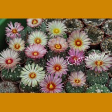 Astrophytum asterias f.orange-yellow-red flowers (10 SEEDS)