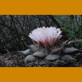Ariocarpus retusus ssp.confusus f. GCG 10953, La Escondida - Aqua Delgada, SE of La Escondida NL (10 SEEDS) new