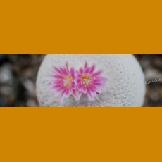 *Epithelantha bokei elongata f.bright pink flowers GCG Puertecitos, Ocampo - Laguna del Rey, Coah. (GRAFTED PLANT 1-2cm)