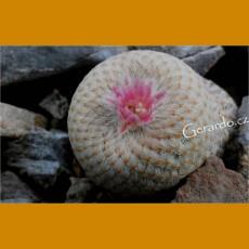*Epithelantha bokei KSM 735 before Puertecitos, W of Ocampo,Coah. (PLANT 0,7-1cm)