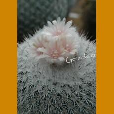 *Epithelantha unguispina HR 111 El Salitro,E of Mina,NL 660m (PLANT 0,7-1cm)