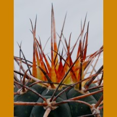 *Gymnocalycium armatum VS 579   SELECTION SUPER SPINES (PLANT 1-2cm)