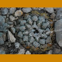 Ariocarpus fissuratus ssp.fissuratus f. GCG 10932 1.5km before Tres Marias, Mpo.Manuel Benavides, Chih. (100 SEEDS)
