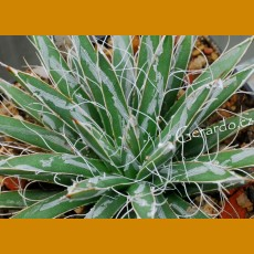 *Agave toumeyana bella  (PLANT 3-4 leaves)
