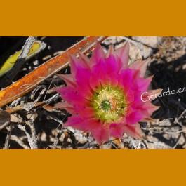 Echinocereus dasyacanthus ssp. crocketianus GCG 10712 Fort Lancaster, TX  shinning bright, intense pink flowers