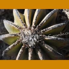 Aztekium hintonii GCG 12637  km19 La Poza-Rio San Jose, NL (100 SEEDS)