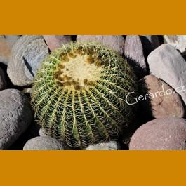 Echinocactus grusonii ssp.zacatecasensis GCG 10862, San Rafael de Las Tablas, Zac. (100 SEEDS)