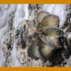 Aztekium hintonii GCG 12637  km19 La Poza-Rio San Jose, NL (10 SEEDS)