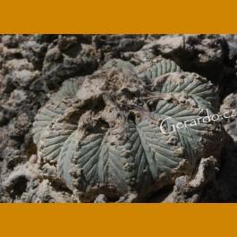 Aztekium ritterii f.intercostatum aff. GCG 12629 Rancho Boquillas, Sra.Juculianes,NL (100 SEEDS)