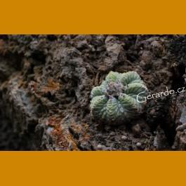 Aztekium ritteri f.rotundum GCG 10964 El Gotche,NL (10 SEEDS)