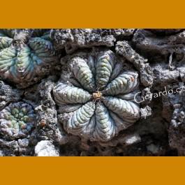 Aztekium ritterii f.rotundum GCG 12630 El Barrial III.,NL (100 SEEDS)