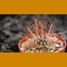 Toumeya papyracantha Snowflake, AZ (10 SEEDS)