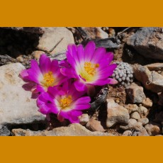 *Mammillaria luethyi GCG 12648 E of Jose Maria Morelos V.,Coah.  GRAFTED (1,5-2,5 cm PLANT)