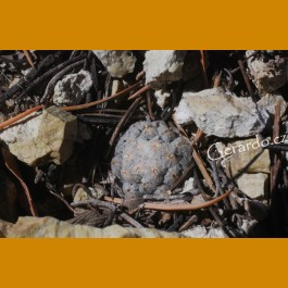 Mammillaria theresae GCG 12281 Passo Coneto, Dgo.