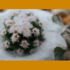 *Pediocactus (Navajoa) fickeisenii f.brevispina  GRAFTED (1cm PLANT)