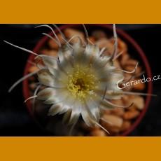 *Pediocactus (Navajoa) fickeisenii SB 468 Fredonia, Az. GRAFTED (1-2cm PLANT)