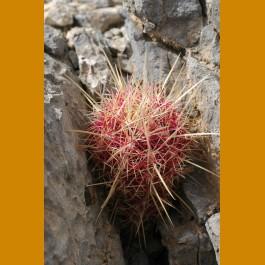 *Thelocactus bicolor f. GCG 10019 El Amparo, Sierra de Parras, Coah.  GRAFTED (2,5-3cm PLANT)