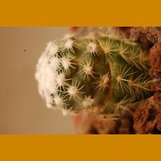 *Pediocactus bradyi ssp.winklerii GCG 10292 Noton, Ut. GRAFTED (1-2cm PLANT)