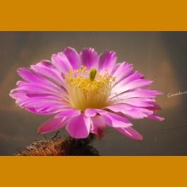 Echinocereus pulchellus weinbergii SS 212 Fresnillo - Sombrerette, Zacatecas