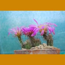 Echinocereus palmeri SB 184, Buenaventura, Chih.  -8C  (10 SEEDS)