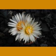 *Coryphantha hintoniorum MMR 050 Las Hormigas, NL (PLANT 2-4cm)