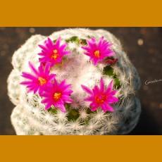 *Mammillaria hunboldtii caespitosa GCG before Millpa Grande, Hgo. GRAFTED (1-2cm PLANT)