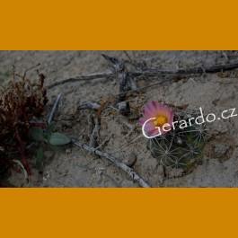 Ancistrocactus pinkavanus GCG 10914 San Juan de Boquillas, Coah.  (100 SEEDS)