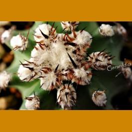 Echinocereus hybr.  `Josephine´ -25C  very nice body & flowers